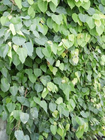 peepal tree: Peepal or bodhi leave from the bodhi tree