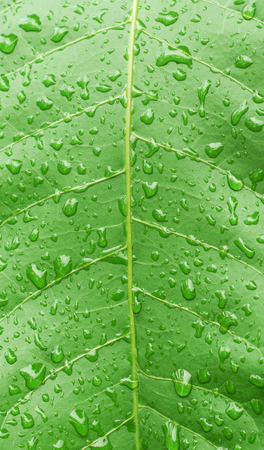 mango leaf: Green leaf with water drops texture ( mango leaf )