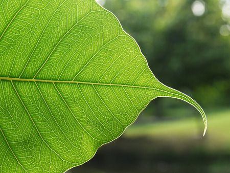 bodhi leaf texture
