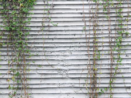 crack climbing: Ivy on the old walls Stock Photo