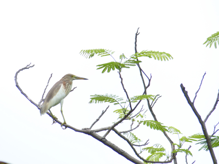 freshwater bird: The Chinese Pond Heron (Ardeola bacchus) is an East Asian freshwater bird of the heron family (Ardeidae)