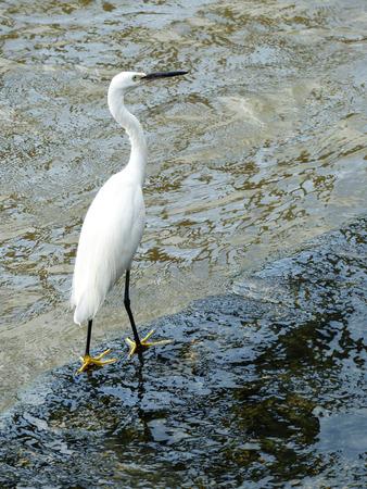 ardeidae: Little Egret portrait
