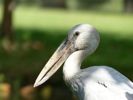 anastomus: Asian Openbill Stork (Anastomus oscitans) in Thailand