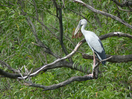 oscitans: Open-billed stork Asian openbill Anastomus oscitans