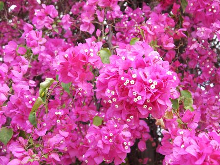 Close up Pink Bougainvillea flower in the garden Stock Photo