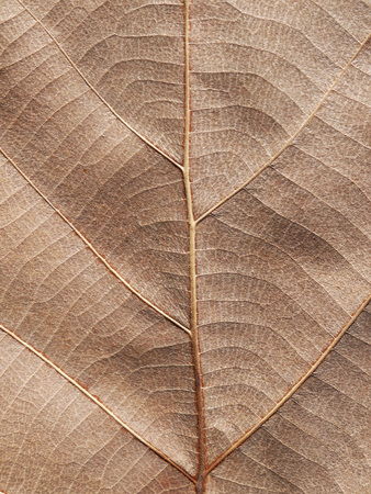 teak: Dry brown leaf texture (teak leaf) Stock Photo