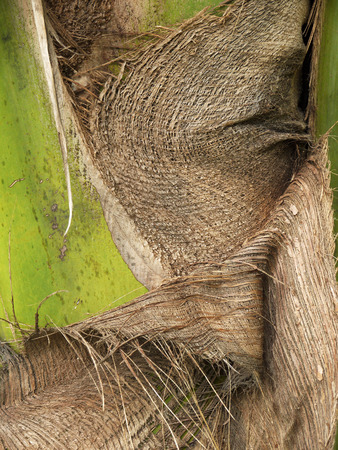 attenuated: palm bark texture