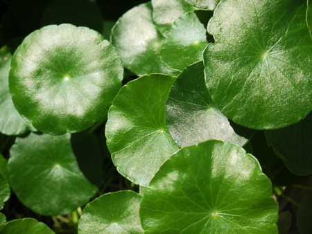 longevity medicine: siatic Pennywort, is a plant that indicated in the treatment of diseases