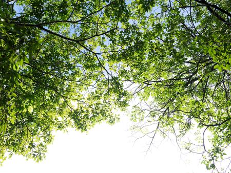 lush foliage: lush foliage of the trees against the sky