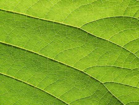 bastard: leaf texture ( Bastard Teak, Bengal Kino, Kino Tree, Flame of the Forest )
