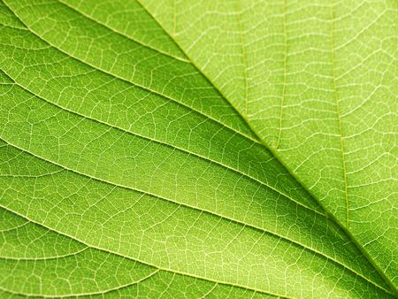 closeup leaf texture ( Bastard Teak, Bengal Kino, Kino Tree, Flame of the Forest )