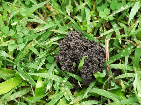 lombriz: excrementos de lombrices de tierra en el campo que sea bueno para la planta