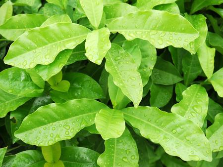 bush trimming: water drop no leaf