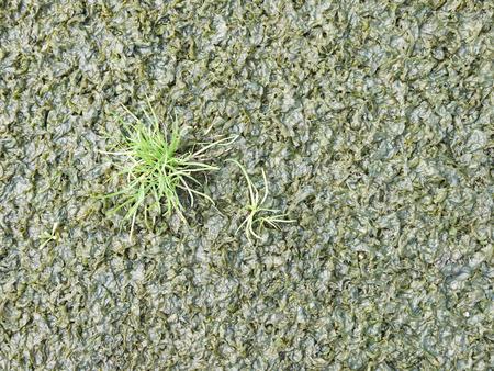 algae: moss, thallophytic plant, lichen, algae background
