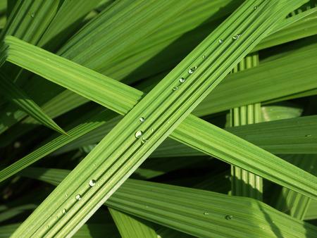 americana: leaf plant texture ( Eleutherine americana Merr ) Stock Photo