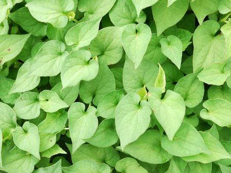 sulfate: Houttuynia cordata Thunb leaf