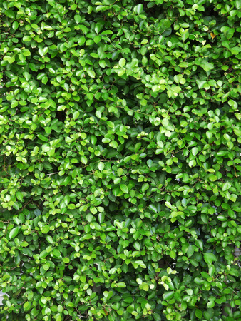 shrubs: Ornamental shrubs ,Wall shrubs,bush background