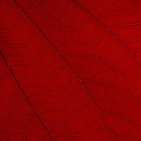purpurea: red leaf texture ( bauhinia purpurea leaf ) Stock Photo