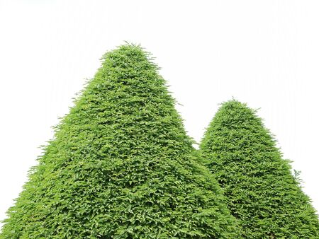 bush trimming: bush on white background , isolated Stock Photo