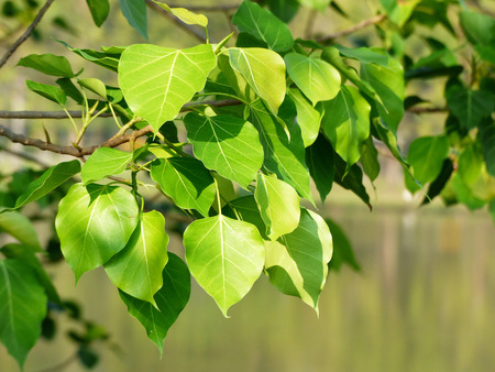 peepal tree: Bodhi or pho leaves and tree Stock Photo