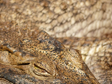 Crocodile Eyes Detail Close Up