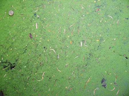 duckweed: dirty water with duckweed