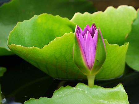 calyxes: lotus