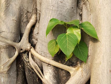 bark carving: Small Bodhi Tree