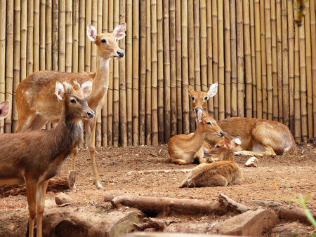 antelope in zoo thailand