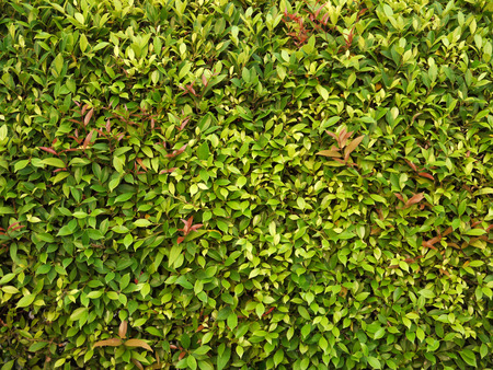 bush trimming: Green leaves wall background