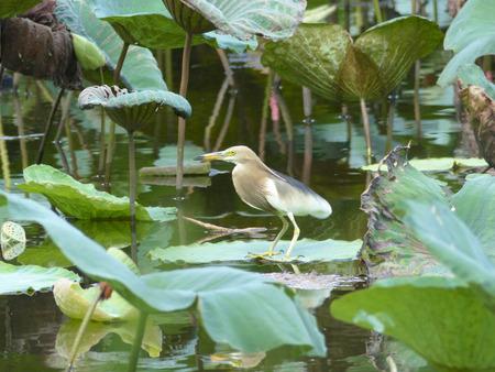 bacchus: bird on lotus leaf in pond
