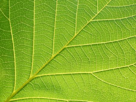 bastard: closeup leaf texture ( Bastard Teak, Bengal Kino, Kino Tree, Flame of the Forest )