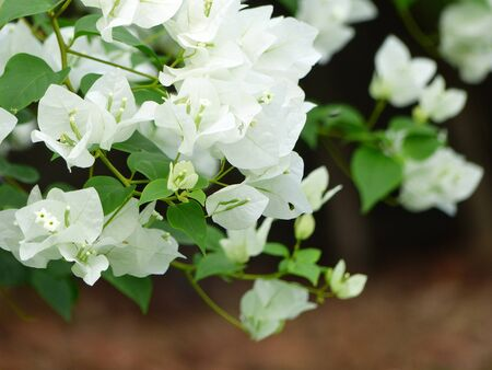 Close up white Bougainvillea flower in the garden Stock Photo