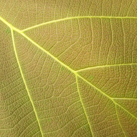 teak: leaf texture ( teak leaf ) Stock Photo