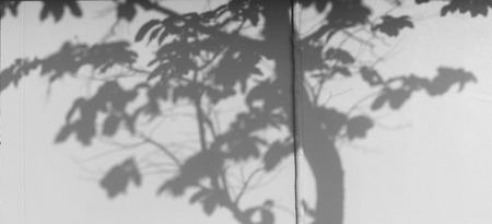 nearness: shadow of the leaves tree on a white wall Stock Photo