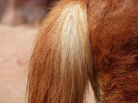 appaloosa: tail of a horse
