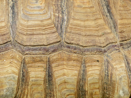 carapace: Texture of Turtle carapace Stock Photo