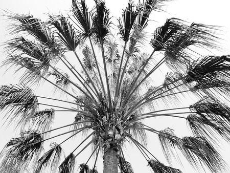 palm tree black and white