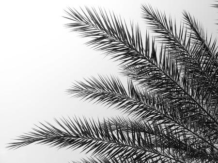 palmtree: beautiful palms leaf on white background