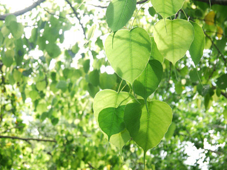peepal tree: Bodhi or Peepal Leaf from the Bodhi tree with sunlight