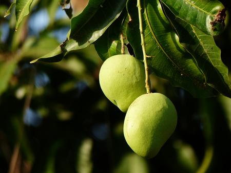 Mango bunch of the organic farm in Thailand Stock Photo