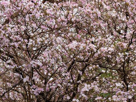 rosea: Pink Trumpet (Tabebuia rosea) flower