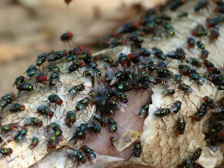 dead fish: Dead fish with flies