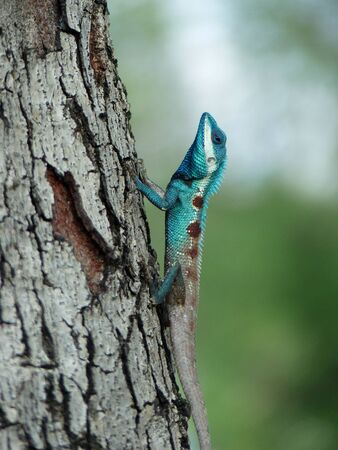 Blue lizard (lacerta viridis)  on bark tree