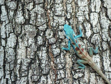 lacerta viridis: Blue lizard (lacerta viridis)  on bark tree