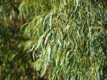 eucalyptus tree: Eucalyptus tree, leaves