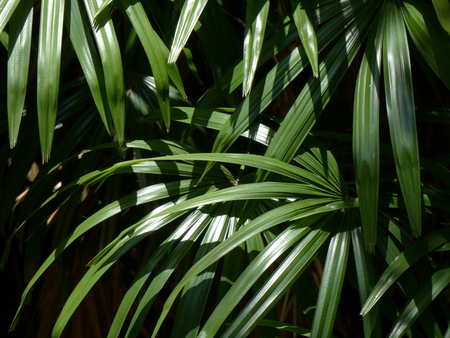 leaves green ( palm leaf )
