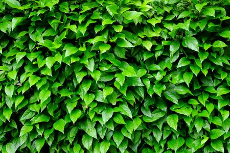 encroach: leaf and bush plant wall