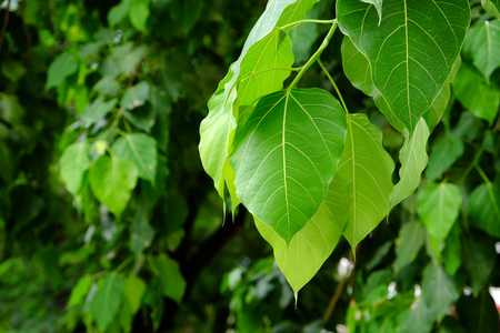 peepal: Bodhi or Peepal Leaf from the Bodhi tree with sunlight