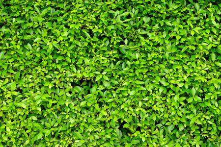 Ornamental shrub wall Stock fotó